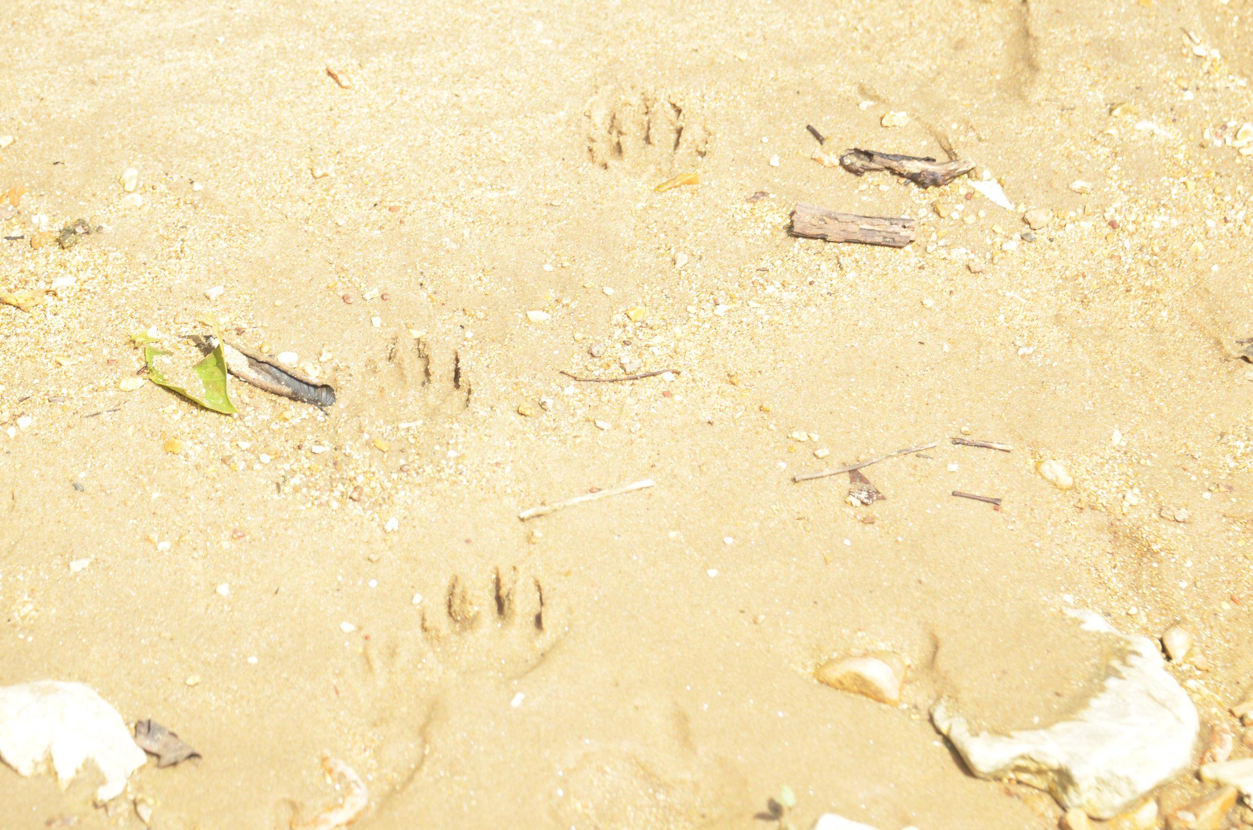 Raccoon tracks on the beach