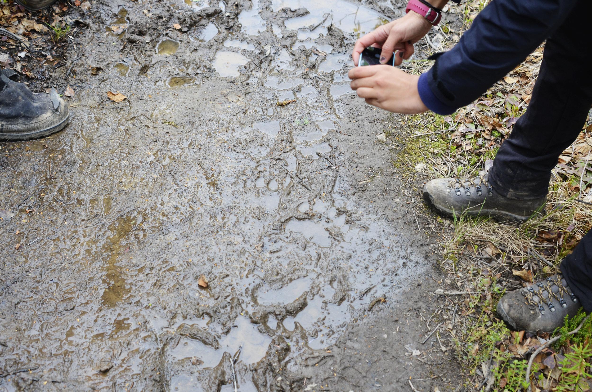 Bear tracks on Alaskan hike