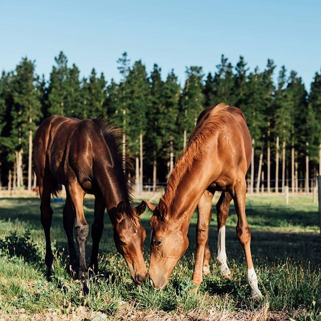 Personal projects that involve spending your evenings cuddling and photographing foals are my new favourite 😍😍😍🐴🐴 .. #nzphotogs #nzweddingphotographer #christchurchphotographer #petportrait #foals #foalsofinstagram #horse #animalphotography #farmlife