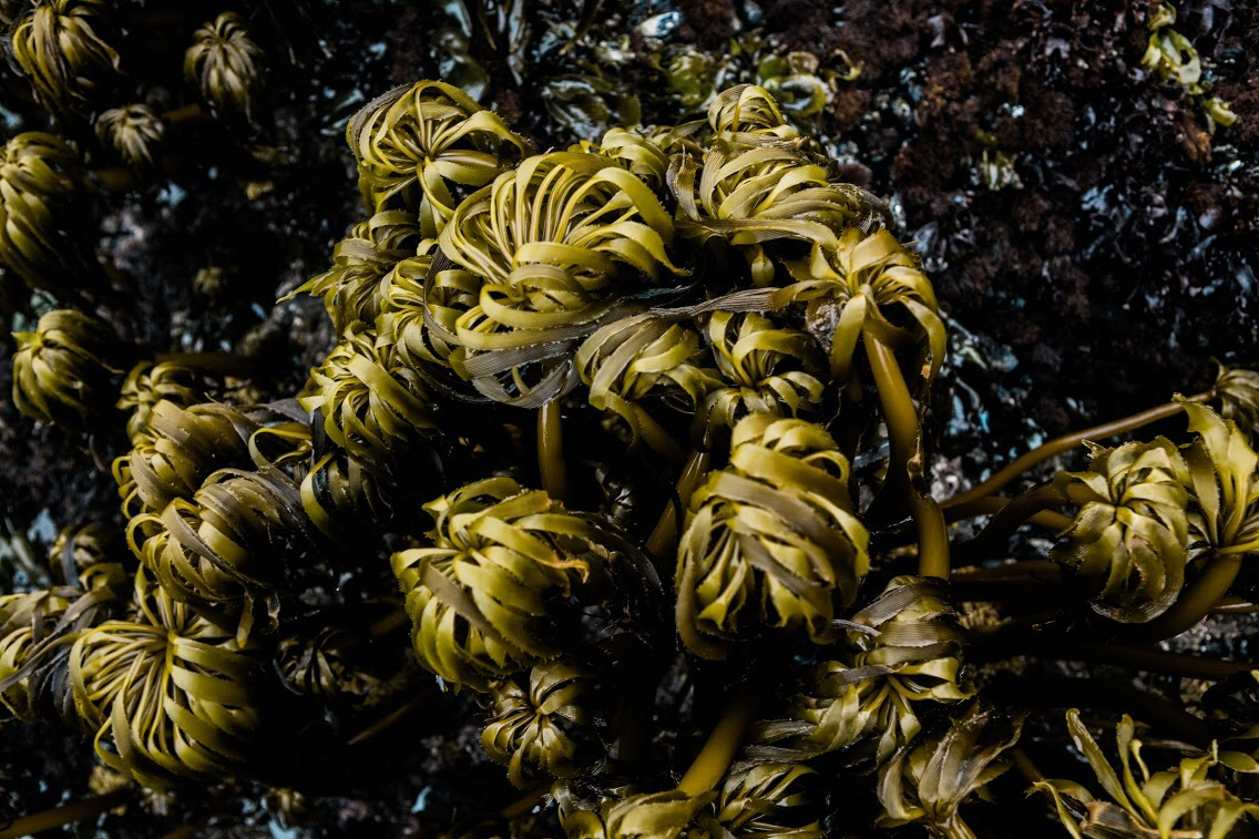 Seaweed forests of the ocean are home to countless marine animals who depend on its nutrient-rich properties to survive.