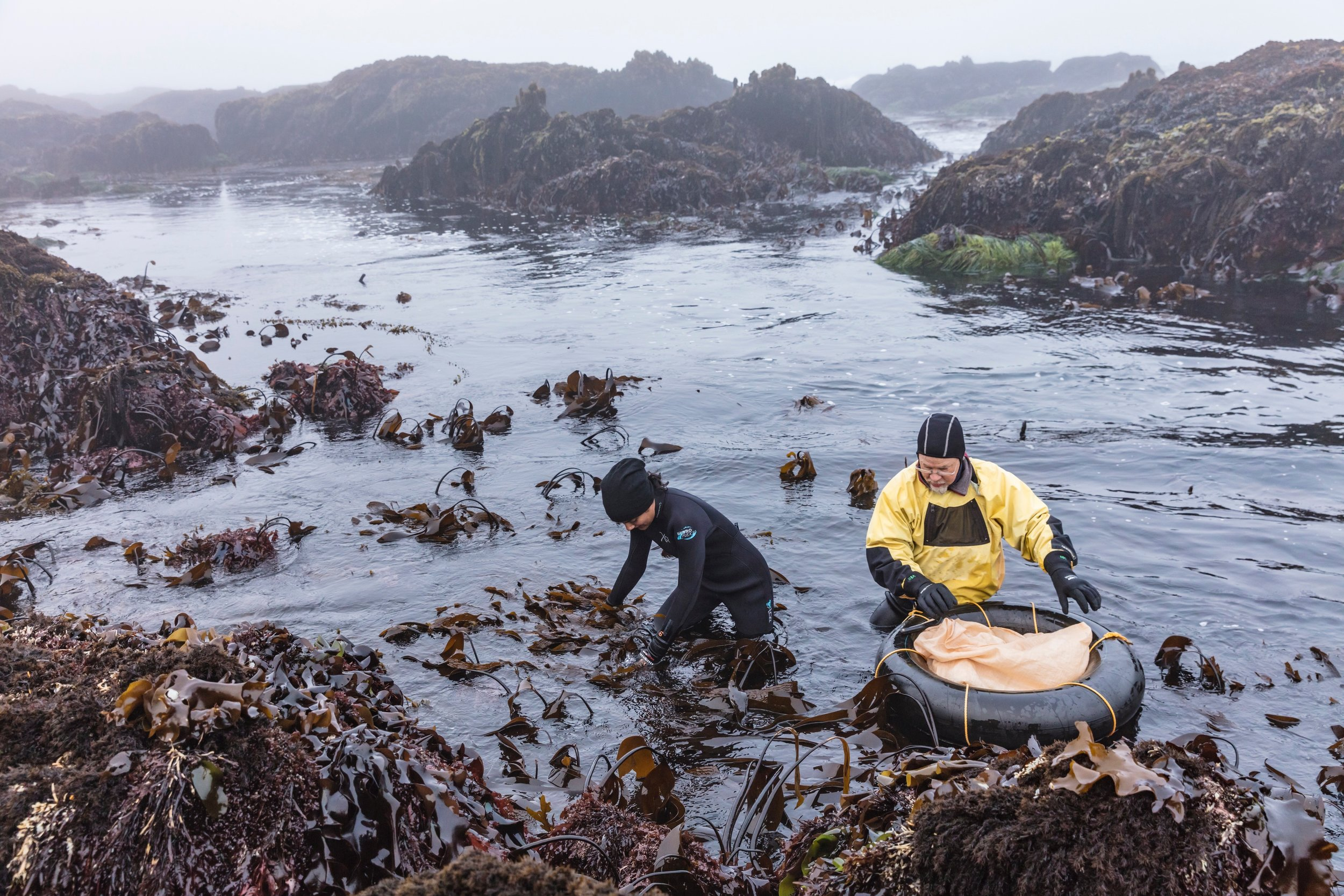 A small amount of seaweed is trimmed, never uprooted, ensuring the regenerative properties of the plant continue to thrive.