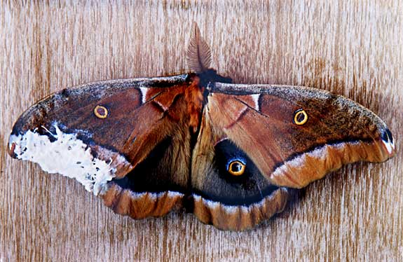 Mended III • Polyphemus moth with bandaged wing C print, 38 x 42 2004. **These moths were imported from my home province of Nova Scotia (they are native) to where I was living in New Mexico. Upon arrival certain parts were broken or had been damaged. I mended these sections and documented it.