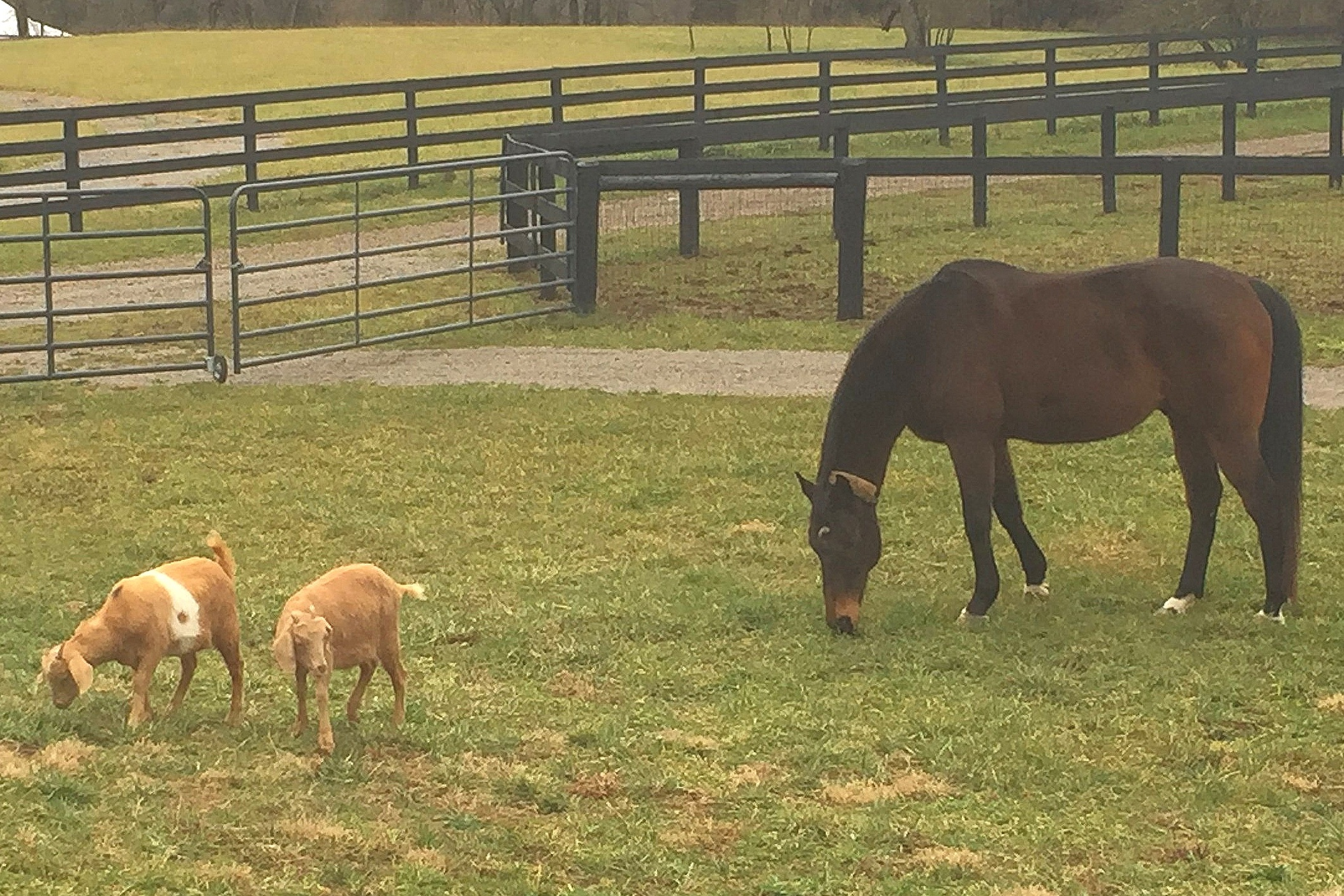 Prayer (Our 17 YO OTTB) grazing with Ginger and Mary Ann
