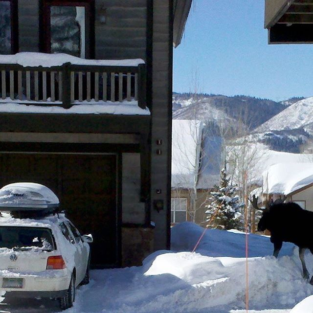 Just your regular Wednesday traffic jam in Steamboat Springs. ⠀ .⠀ .⠀ .⠀ #realadventuredesign #humpday #humpdaymoose #moose #winter