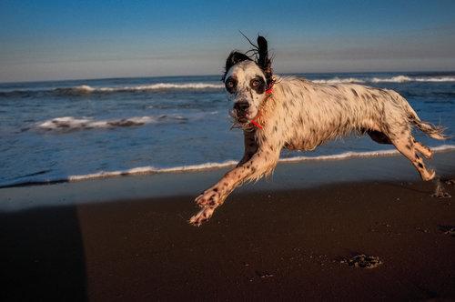 USA. Nags Head, North Carolina. 2008. Beach dog runs.