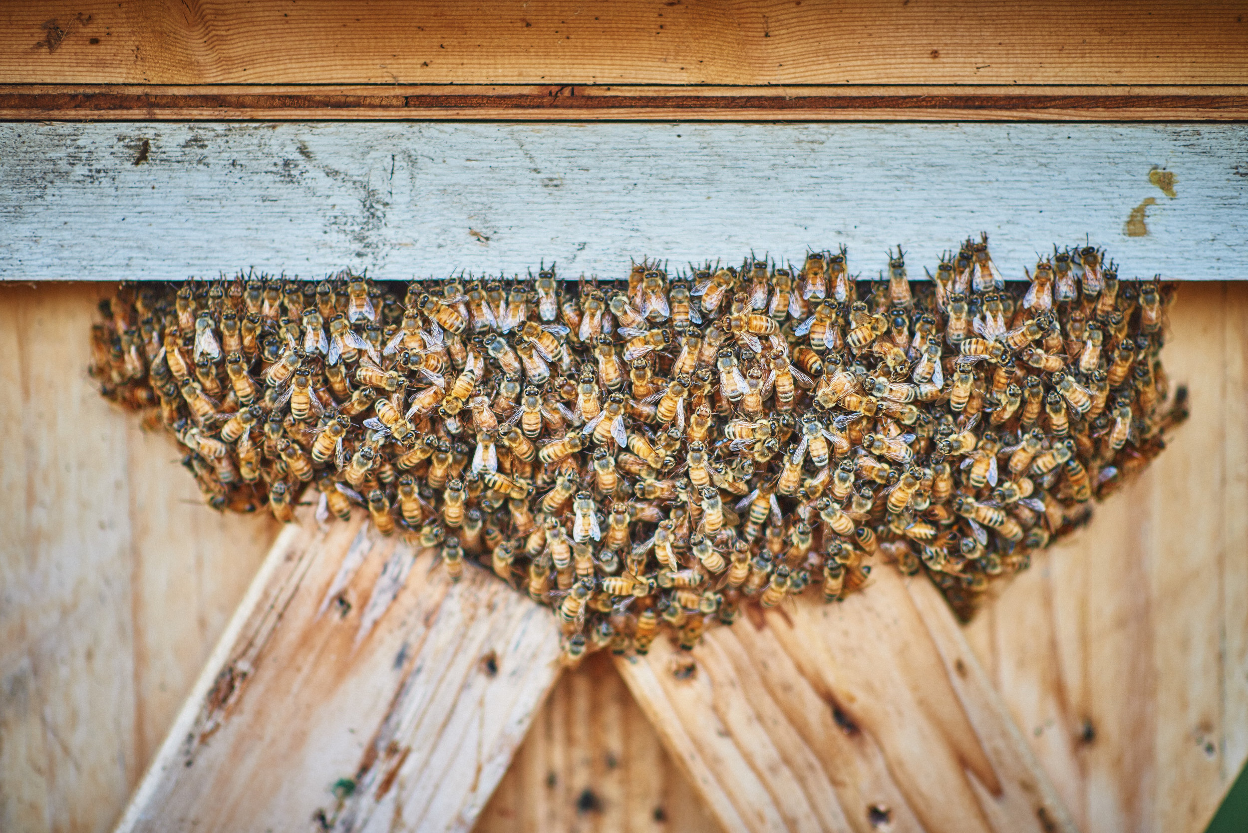 honey bees on plum nelli island farm in washington state