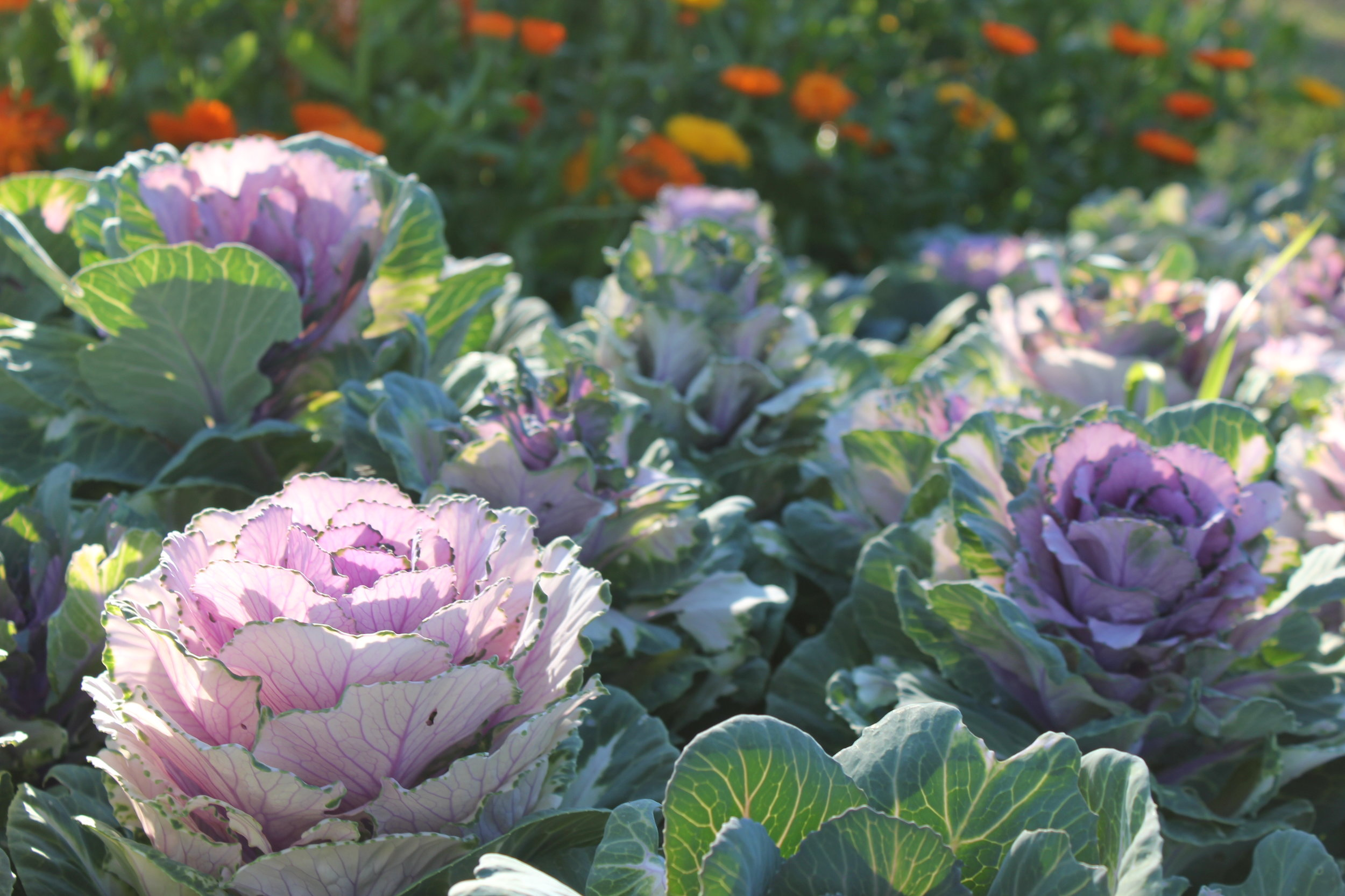 purple cabbage heads at plum nelli homestead permaculture farm.JPG