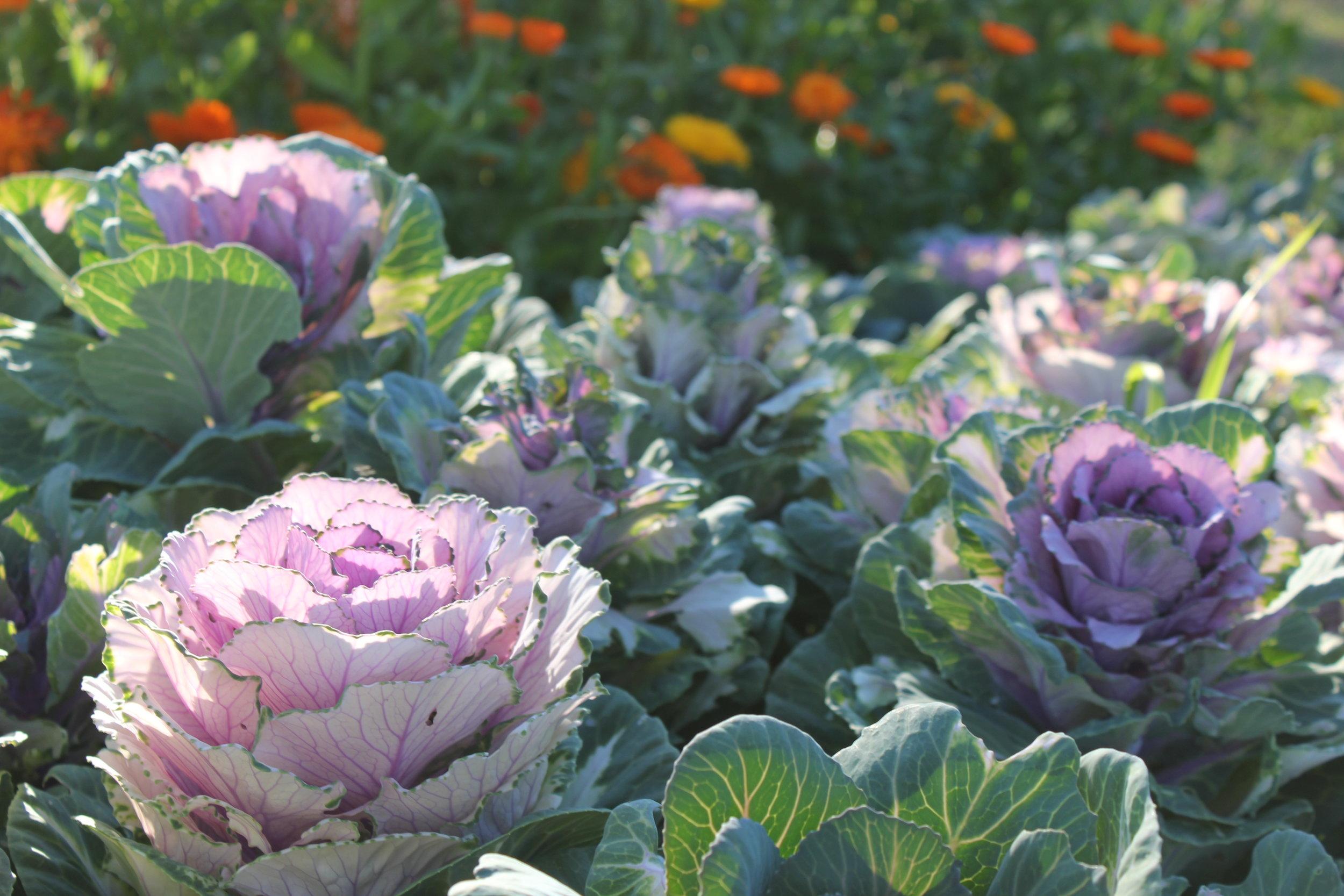 purple cabbage heads at plum nelli homestead permaculture farm.JPG