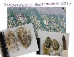 Oyster Gardeningin California -