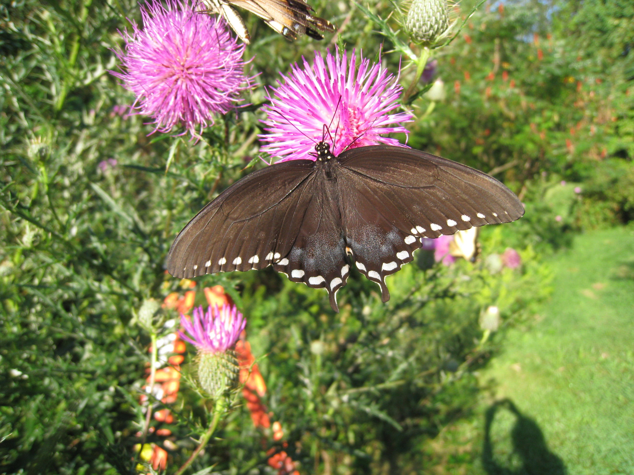 Spicebush Swallowtail - female - dorsal - 3.JPG
