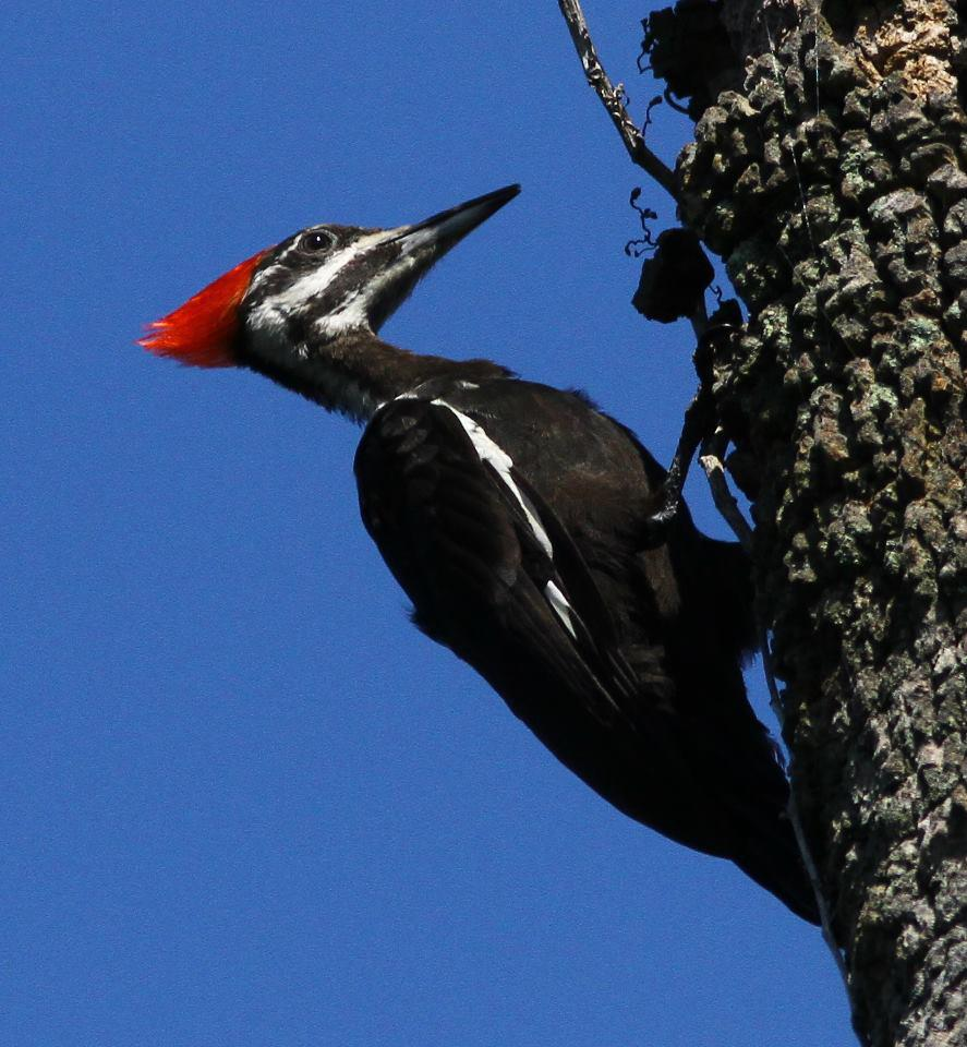 Pileated Woodpecker.jpg