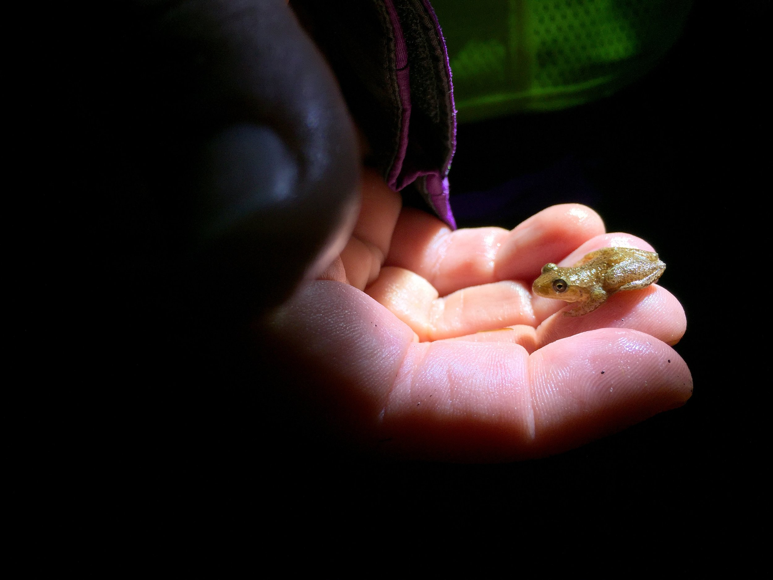 A spring peeper is scooped up by a volunteer and safely transported across the road. Although tiny, these chorus frogs are known for their loud chirping vocals on spring nights. (Anna Miller/Animalia Podcast)
