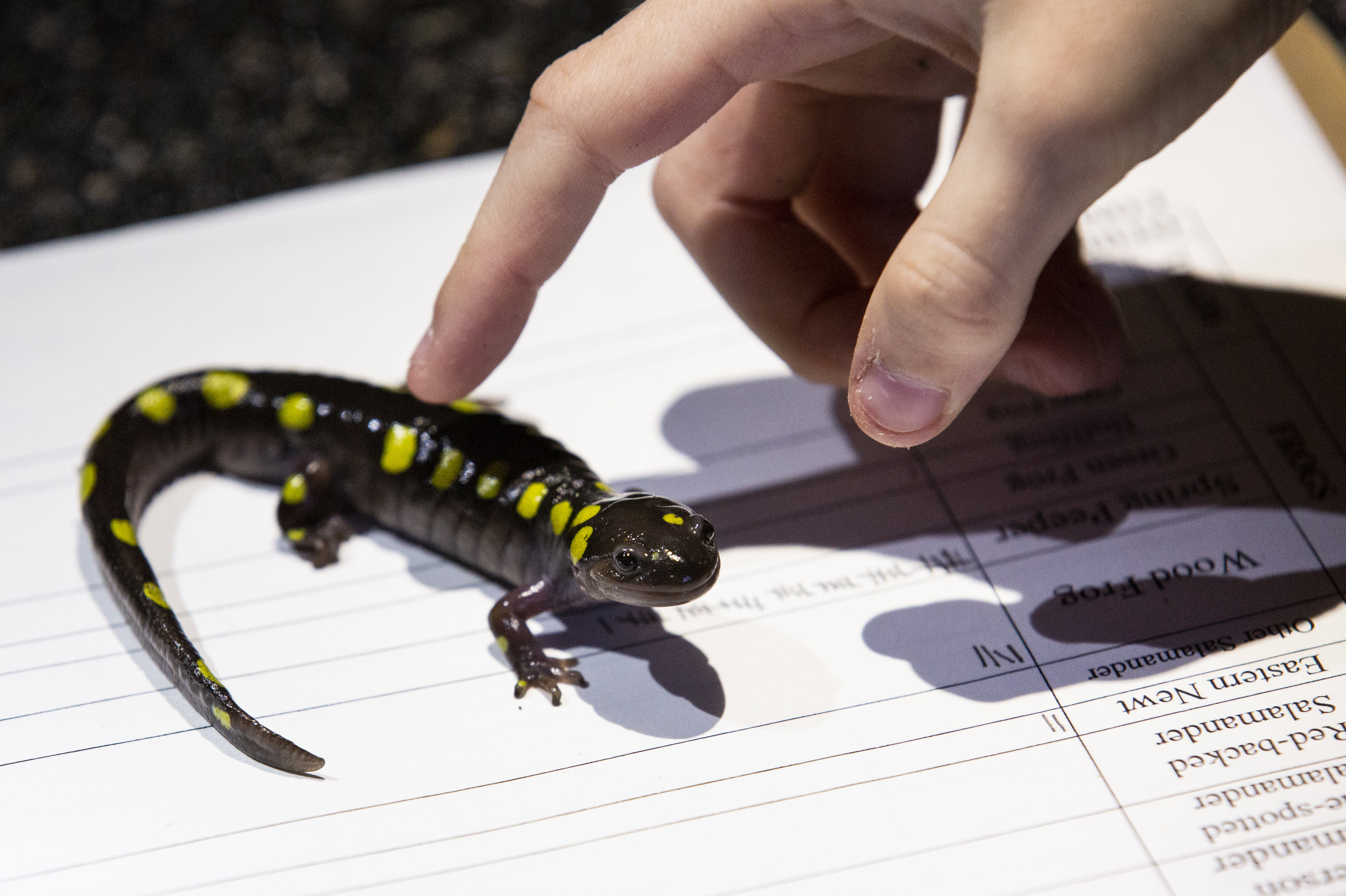 A spotted salamander is transported to a volunteer's clipboard, where it will be photographed and then quickly released back to the woods. Spotted salamanders have two distinct rows of yellow dots that are as unique and individualistic as a human's fingerprints. These unique patterns help volunteers to identify and keep track of individuals as they return year after year to the same breeding sites over their 30-year lifespan. (Anna Miller/Animalia Podcast)