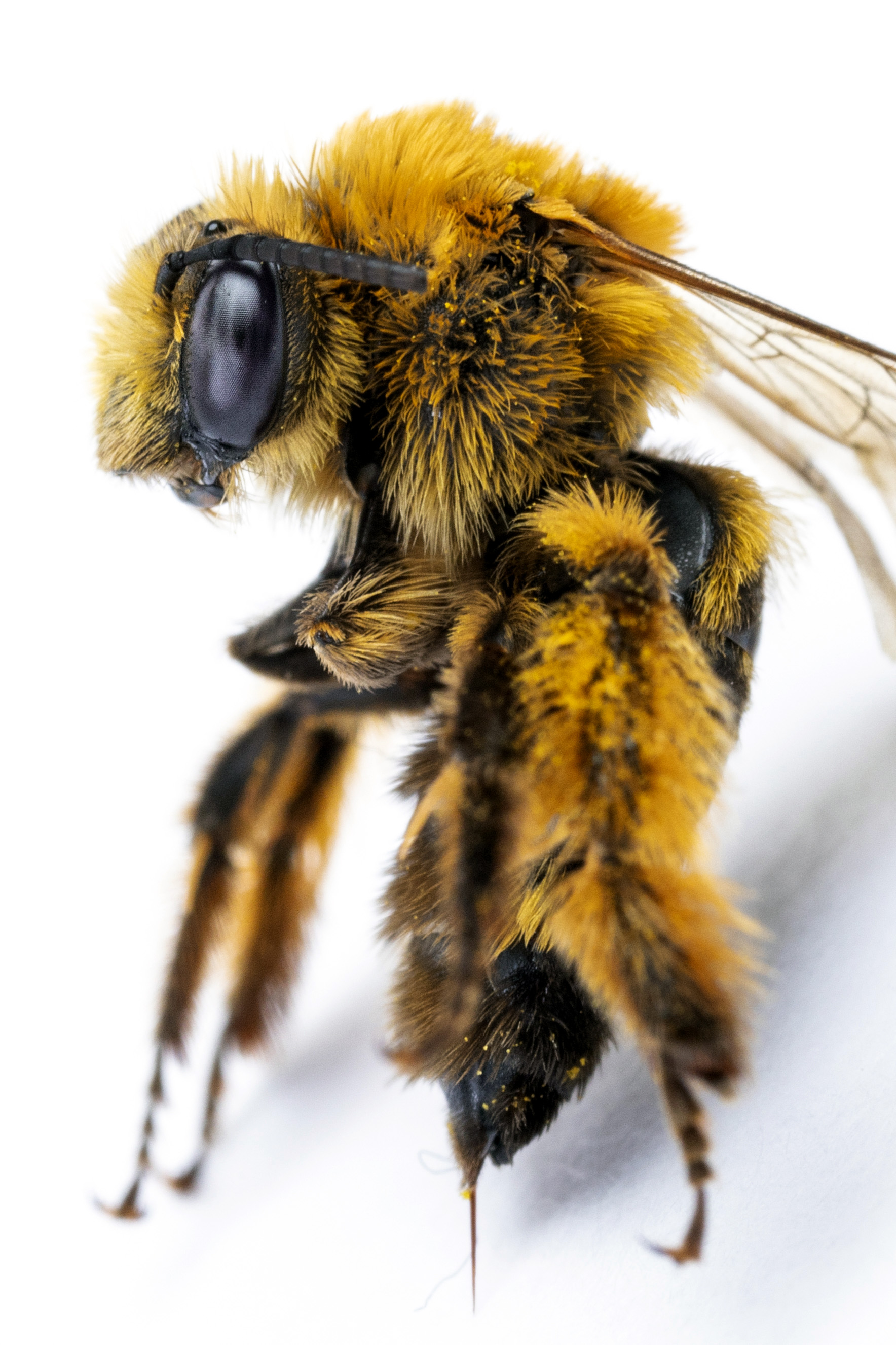 female Long-horned bee (Melissodes sp.).