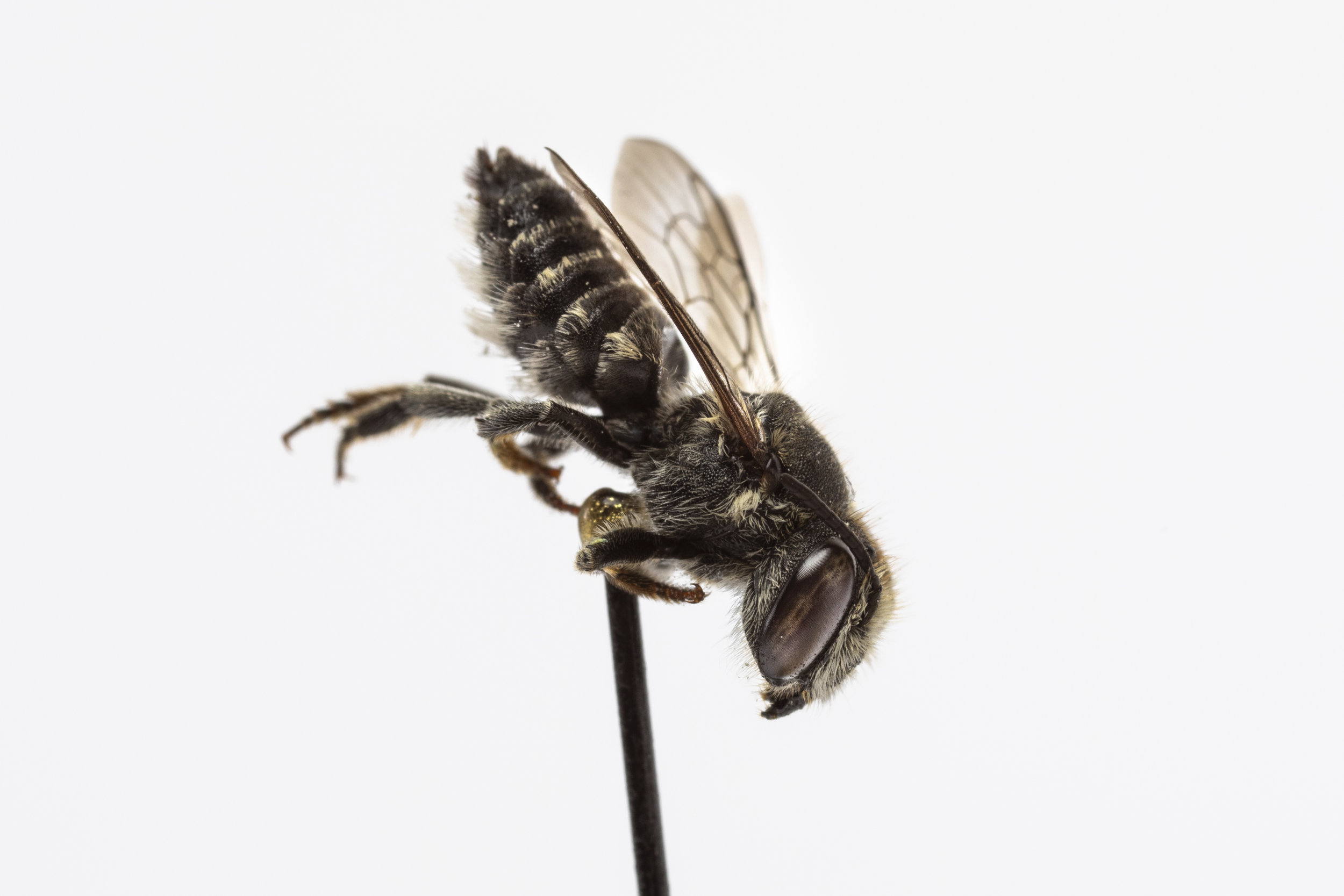 Leaf-cutter bee (Megachile sp.)