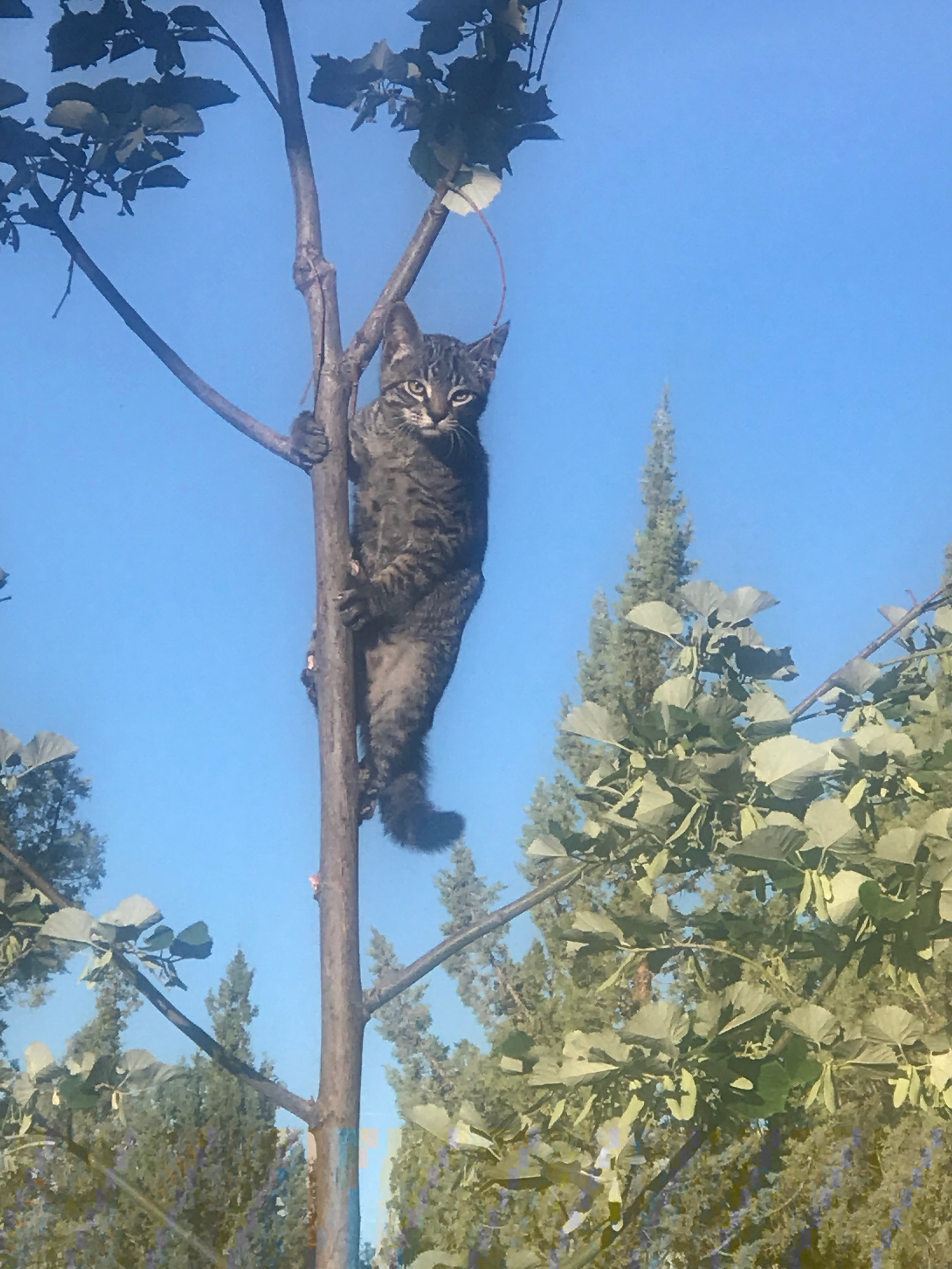 I have found also that Linden is a great tree for kittens to who are learning to climb. Linden gives so much, sometimes even branches so that others around may grow and learn!