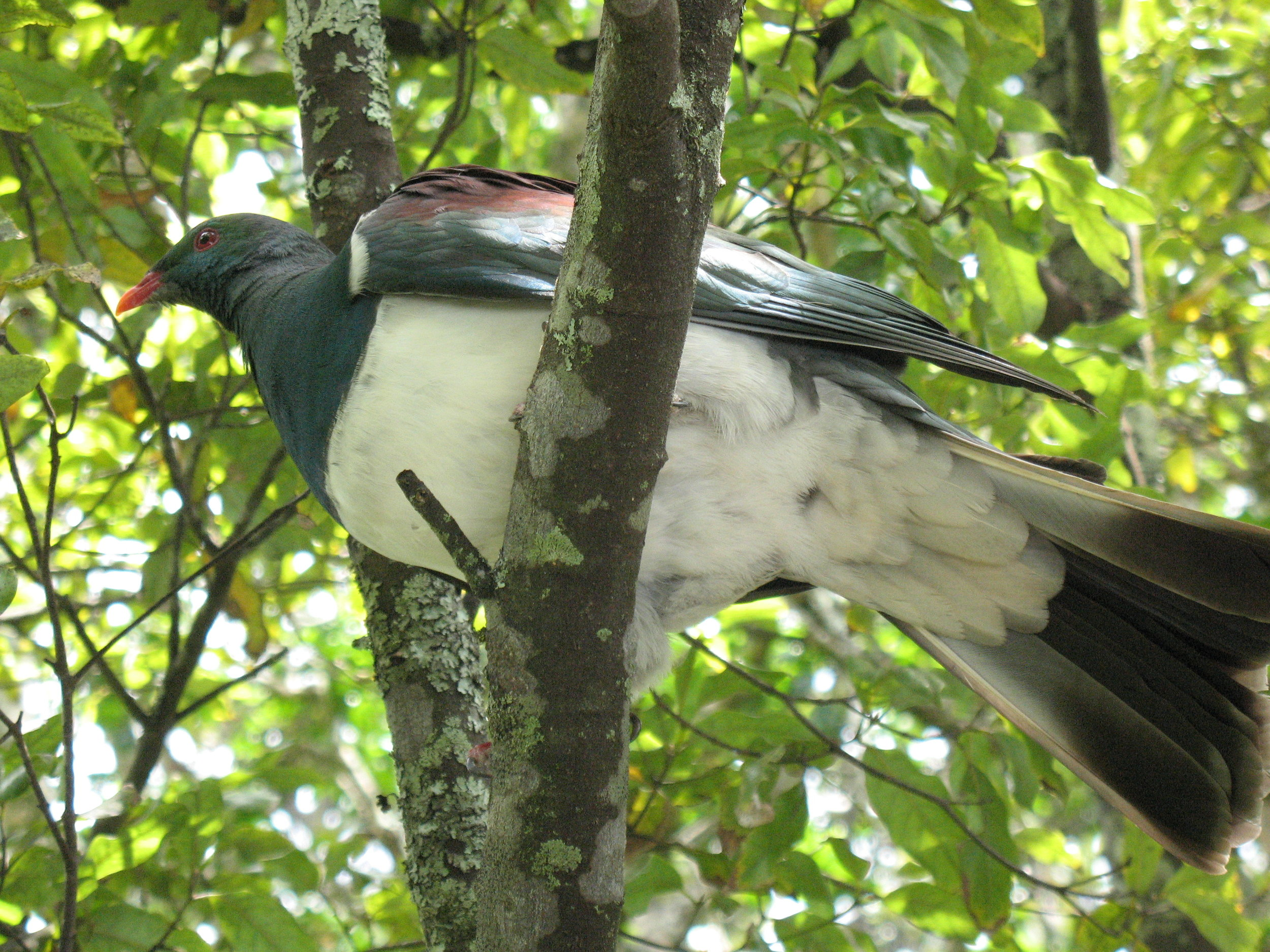 Kereru - The blessings of living close to my natural environment are far too many to document here. Suffice to say that I love my world and it is a constant reminder of how much, when we are removed from it, we abuse it.