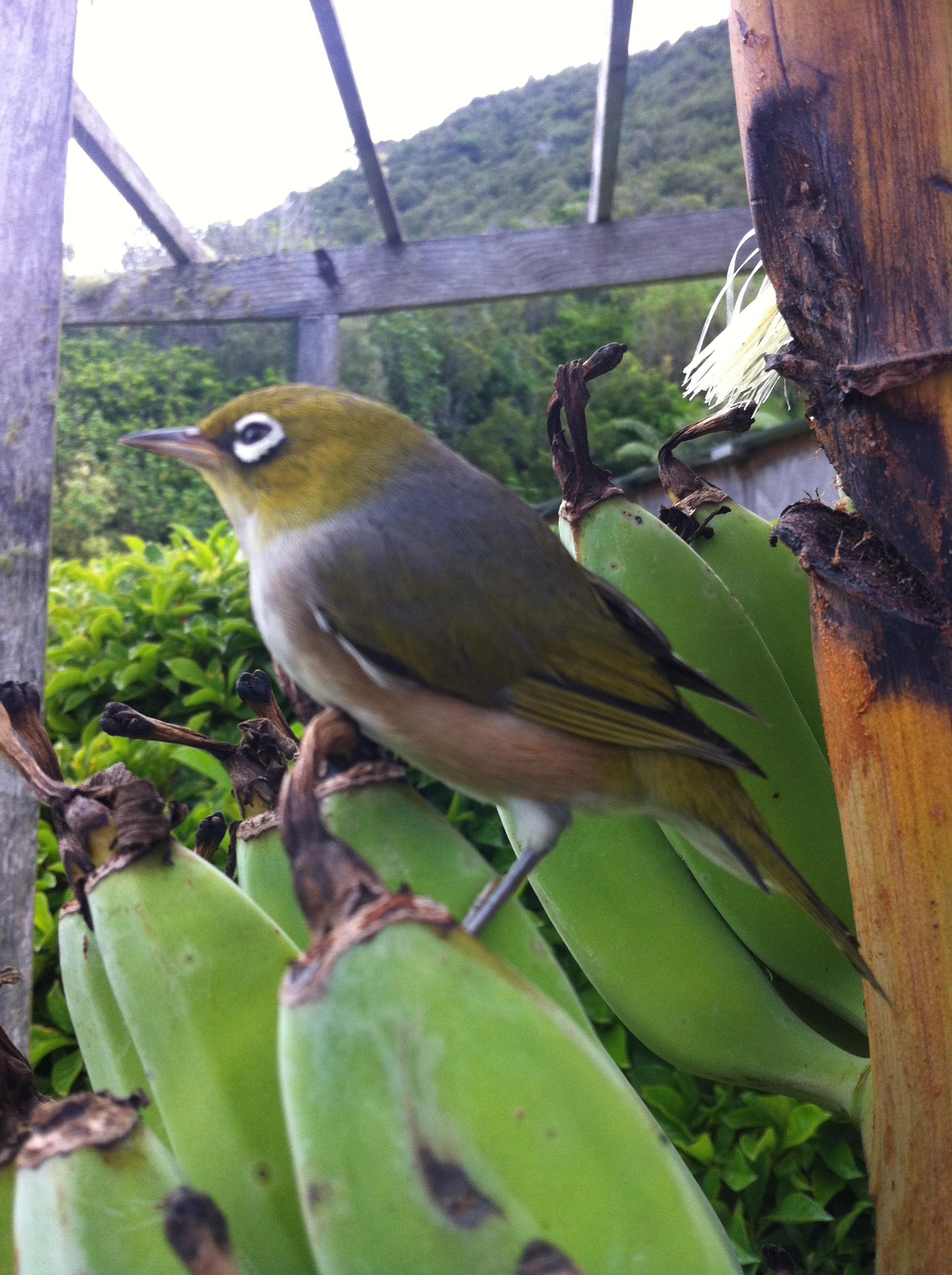 Waxeye checking out the ripeness of the bananas - not ready yet-