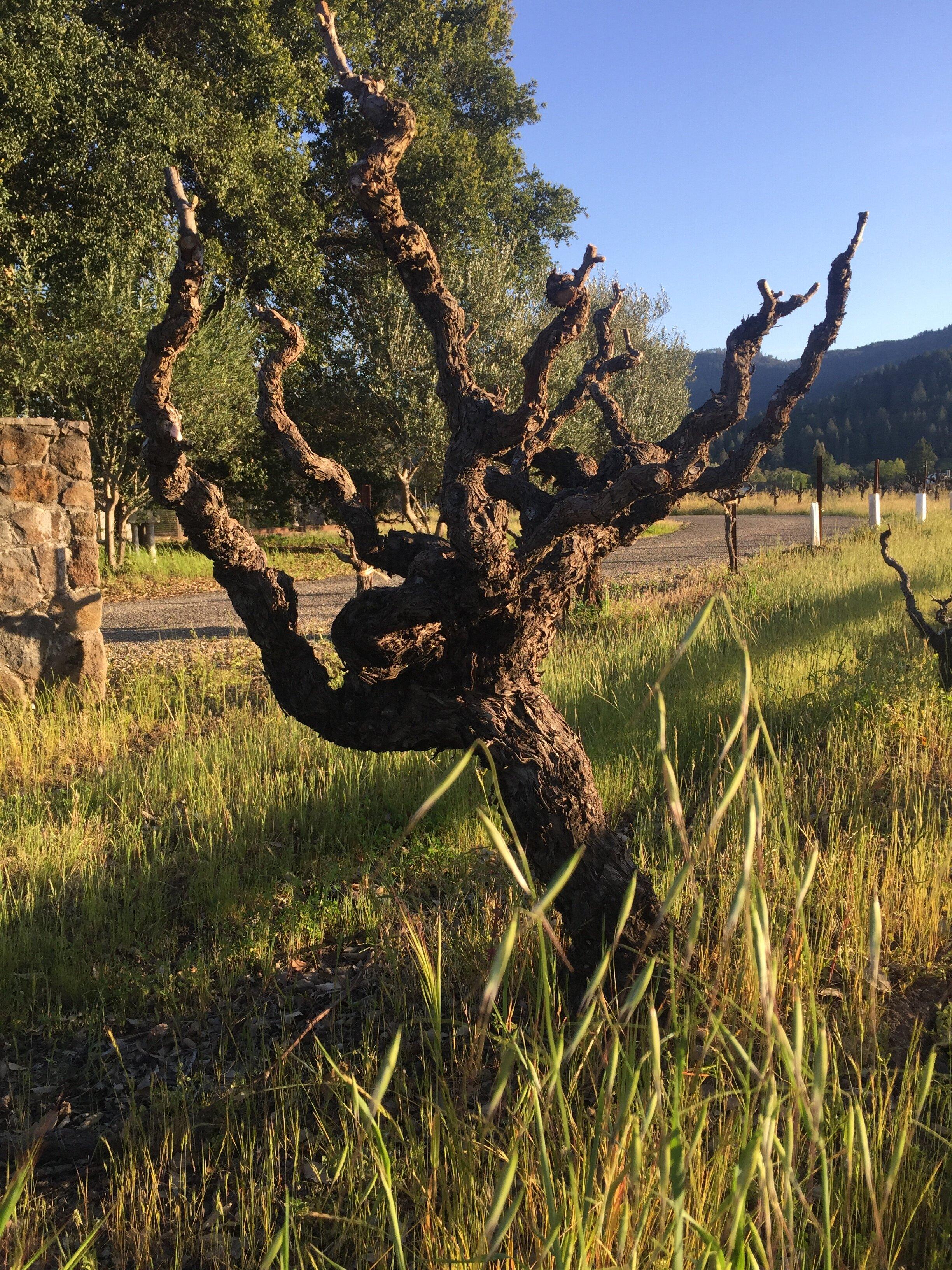 vineyard_7031.jpg