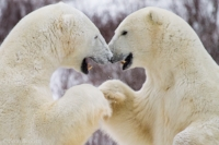 Polar Bear Wonderland - Ecology and behavior of the King of the Arctic