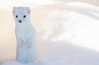 Freezing and Loving It - Animal survival in earth's coldest places