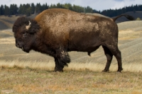 Buffalo Country - The (near) extinction and revival of our national mammal