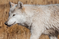 Wolves and Bears of Yellowstone  - Predator ecology and conservation challenges