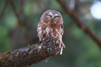 Pint Sized Predators - Researching North America's small forest owls