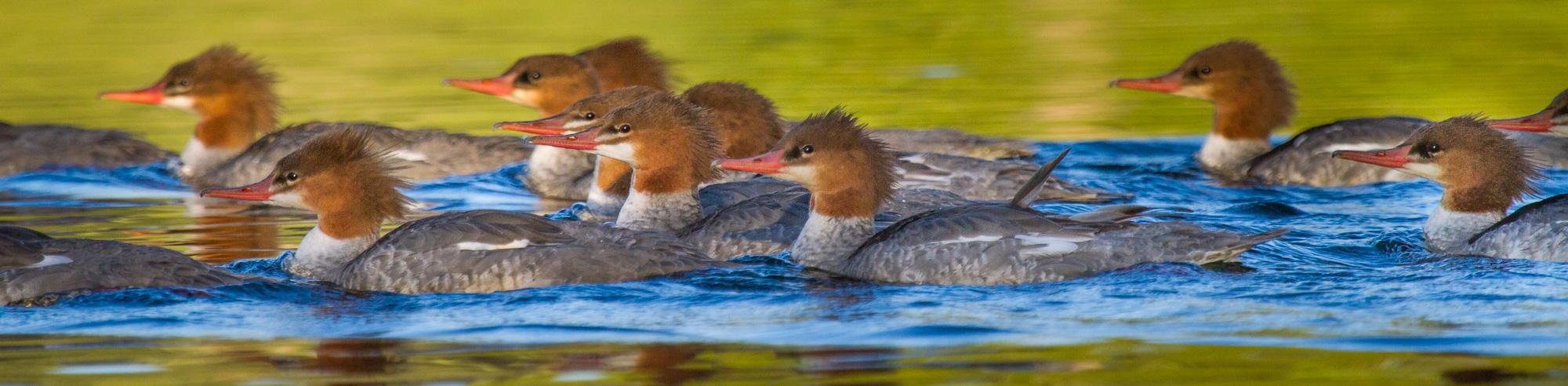 Merganser flock