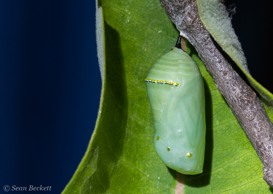 An hours-old monarch chrysalis. Stay tuned for the big reveal in a couple weeks!