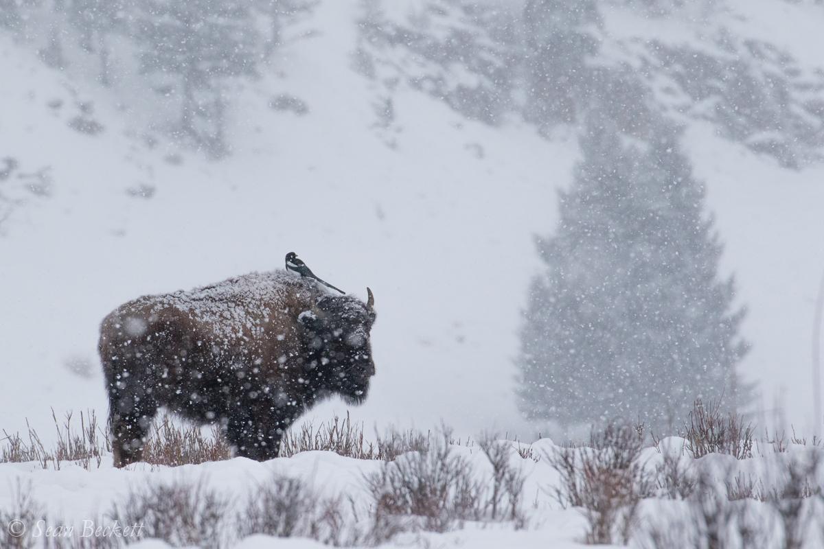 NHAJan31_18_Yellowstone-2.jpg