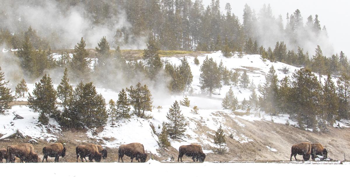 NHAJan31_18_Yellowstone-6.jpg
