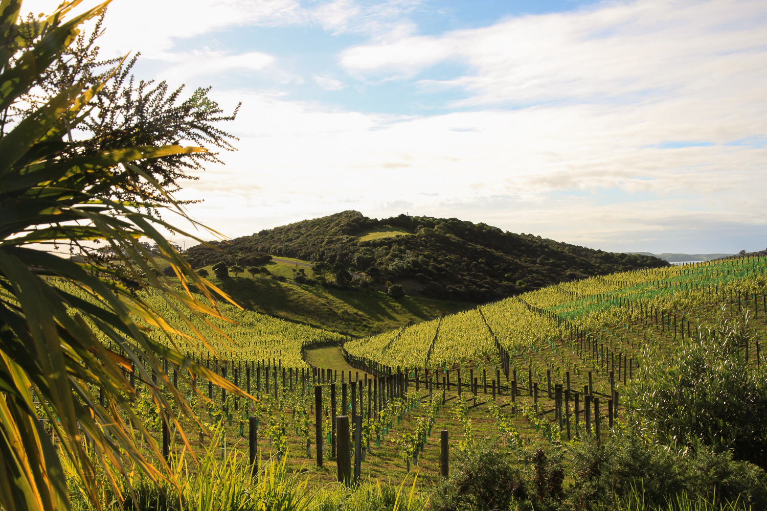 rolling hills and vineyards of new zealand