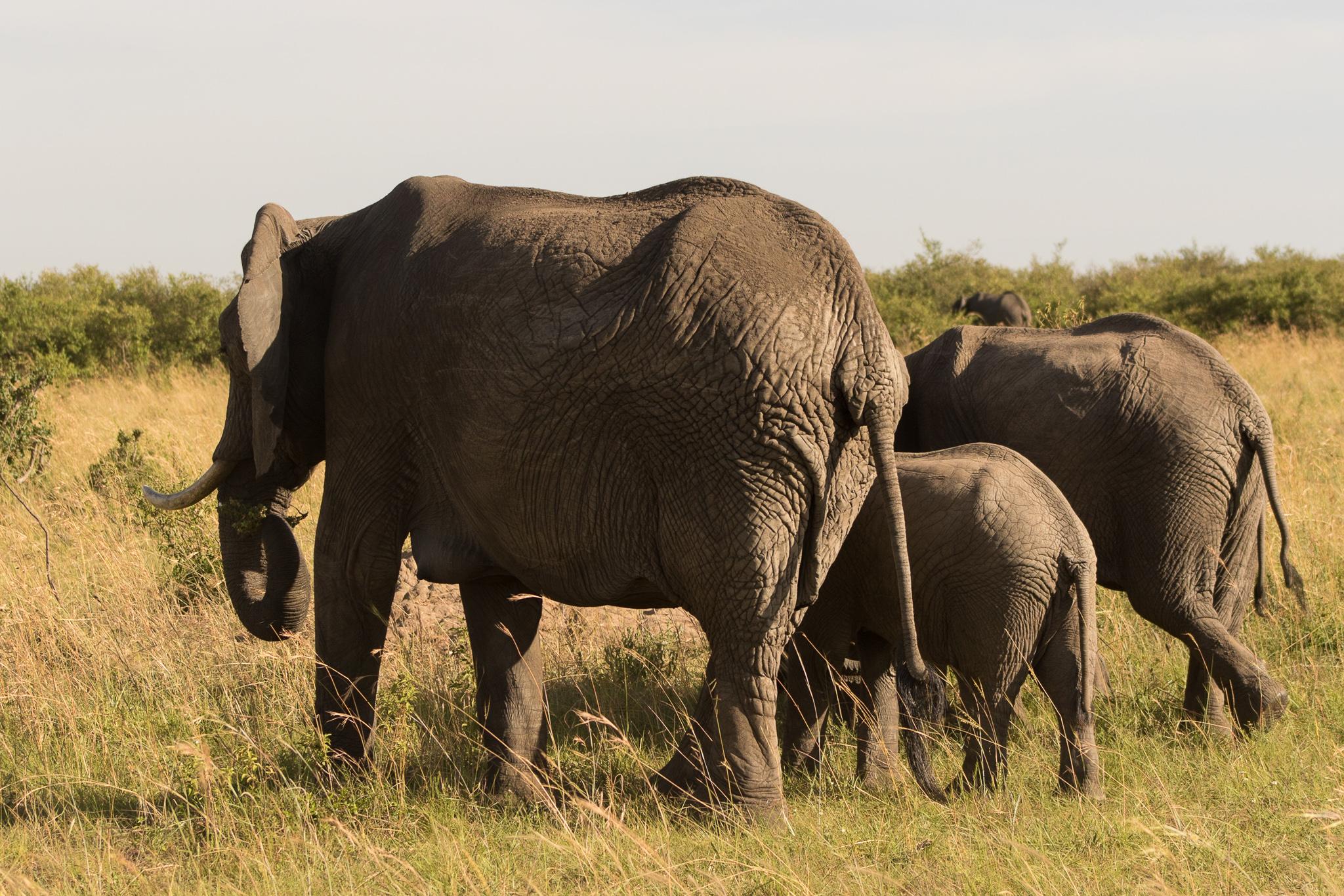 family of wild elephants in kenya