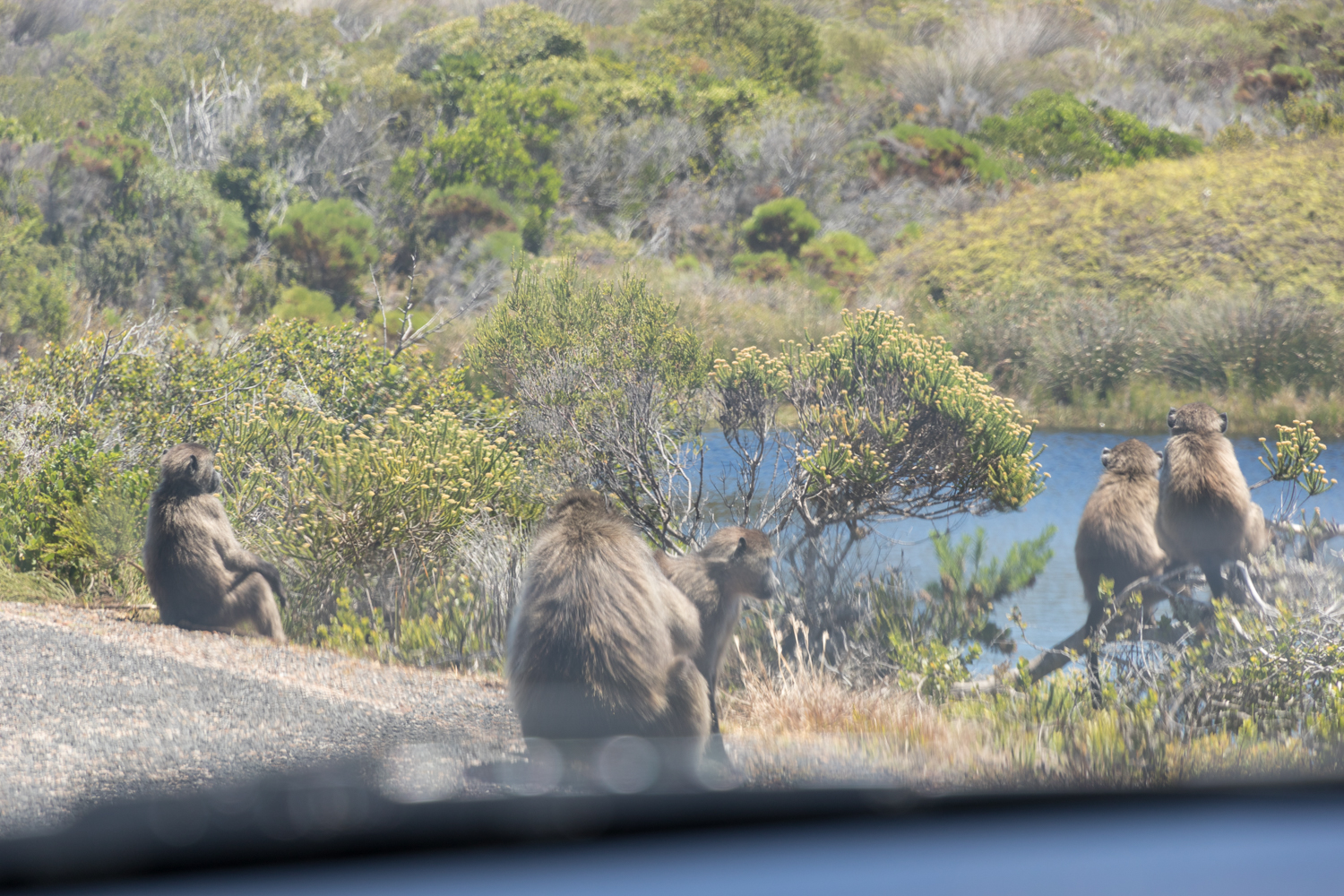 family of baboons on the roadside