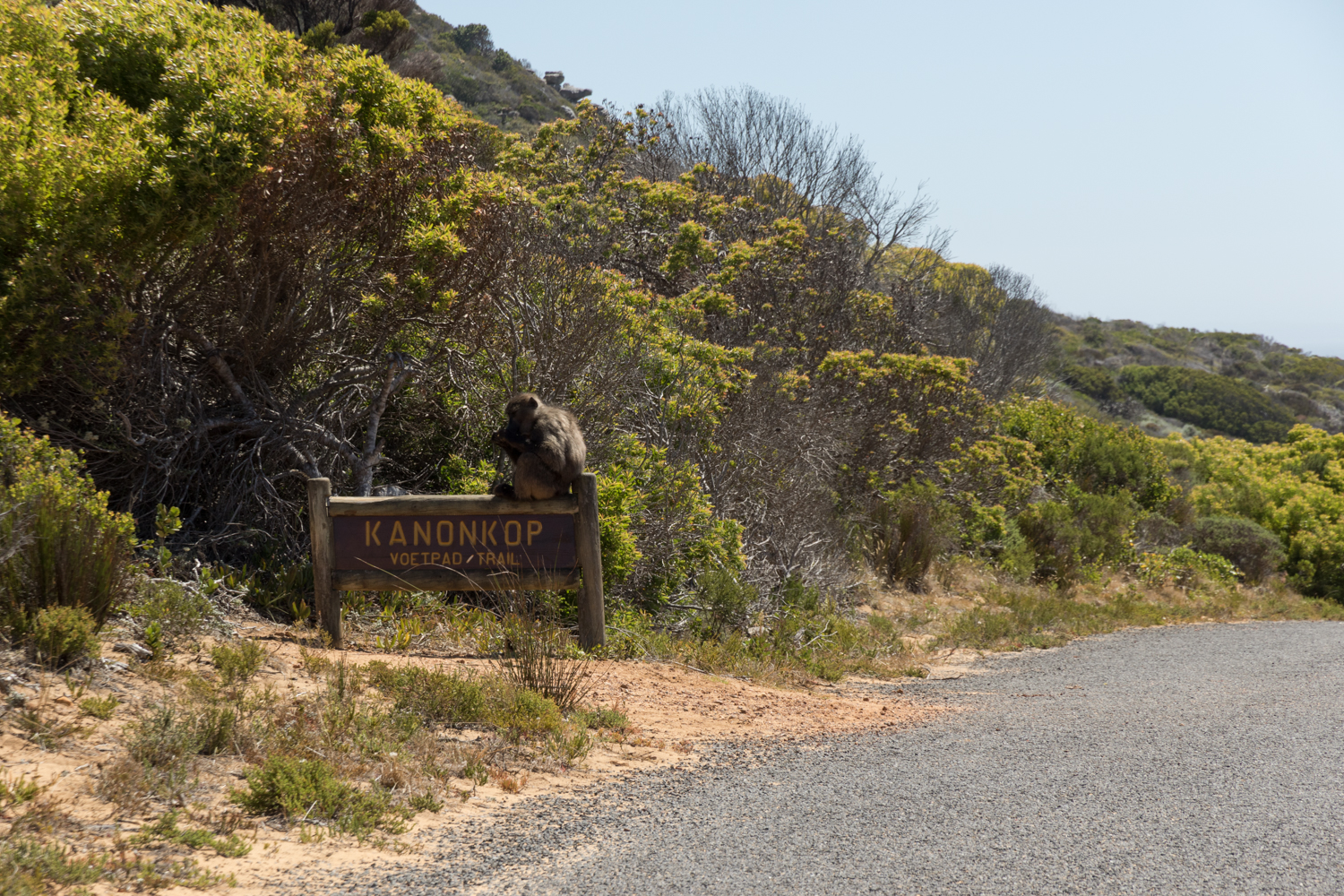 baboon resting on sign