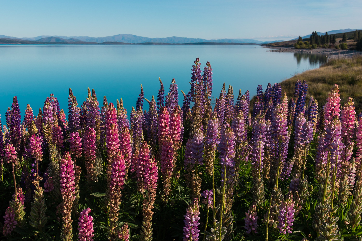 pink and purple lupins lakeside
