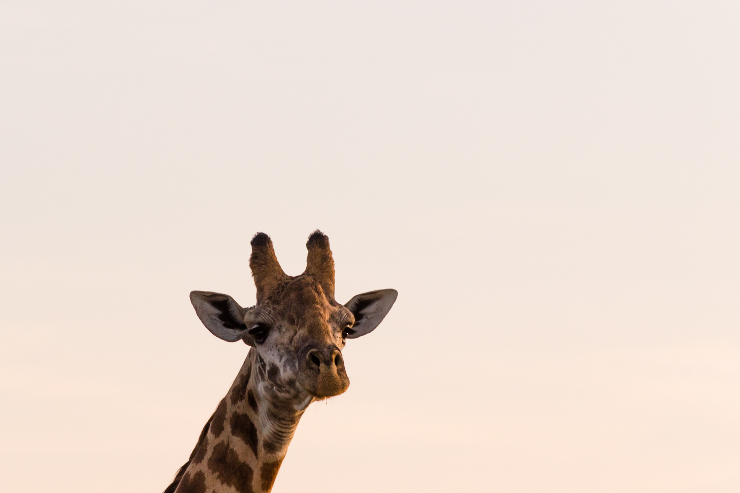 giraffe head at sunrise