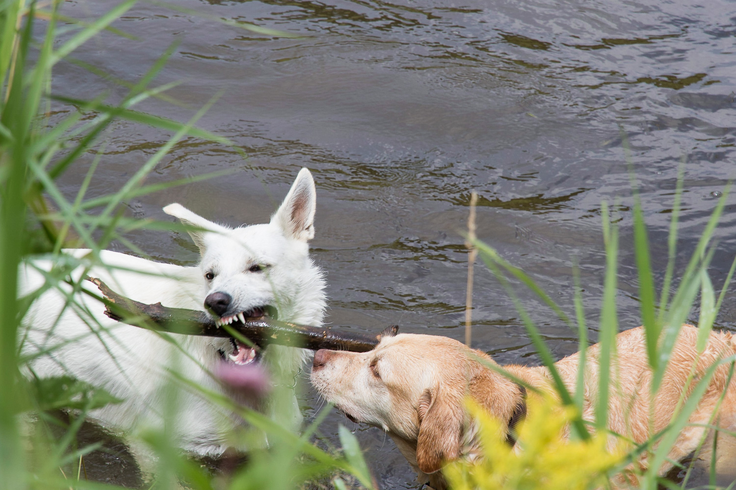 dogs_playing_creek
