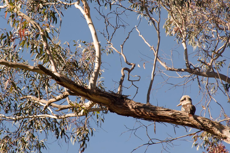 australia_bird_kookaburra-1.JPG