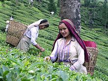 Tea garden worker