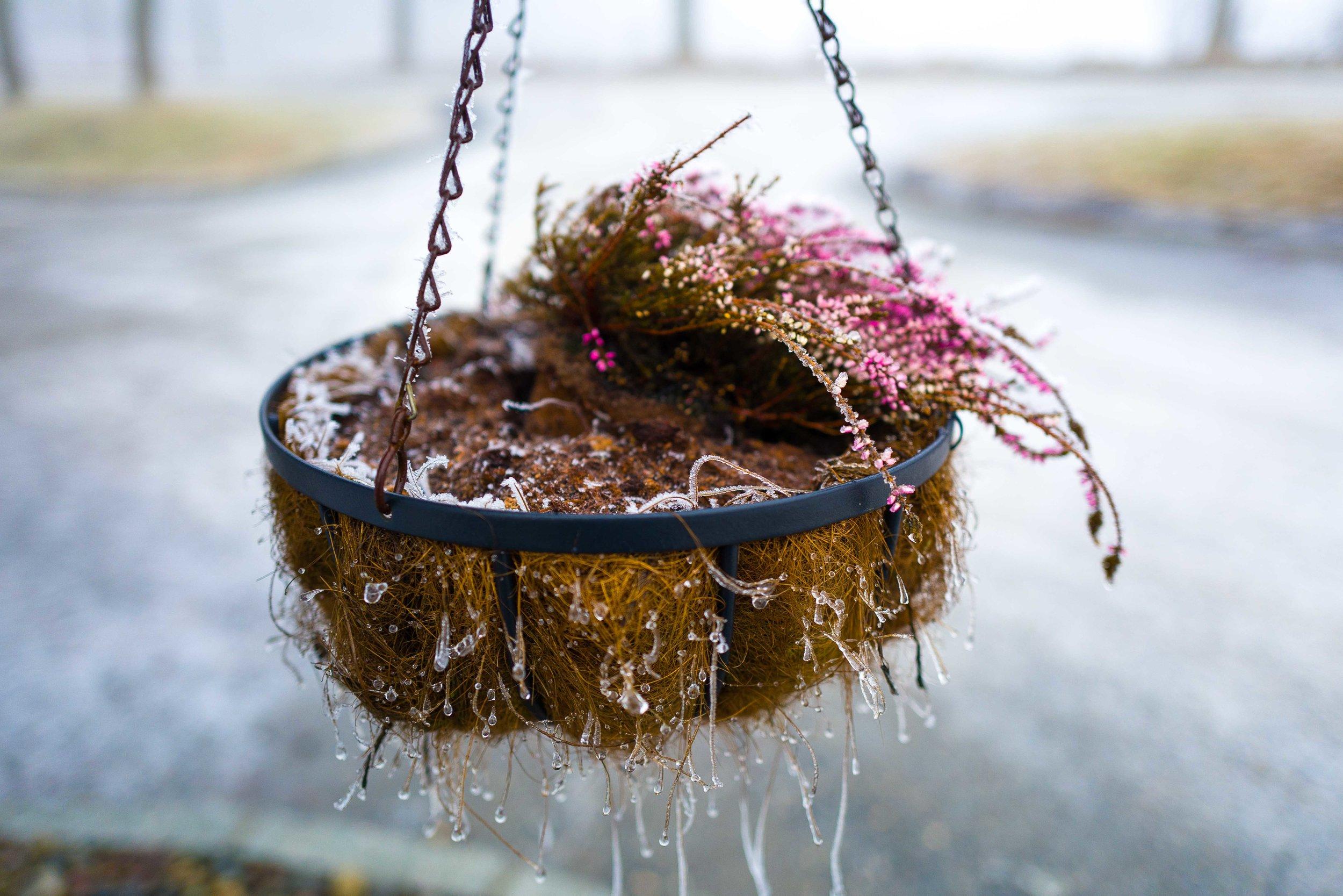 Frozen decorative plant in Norway. Winter 2016. Photo: Daniel Novello