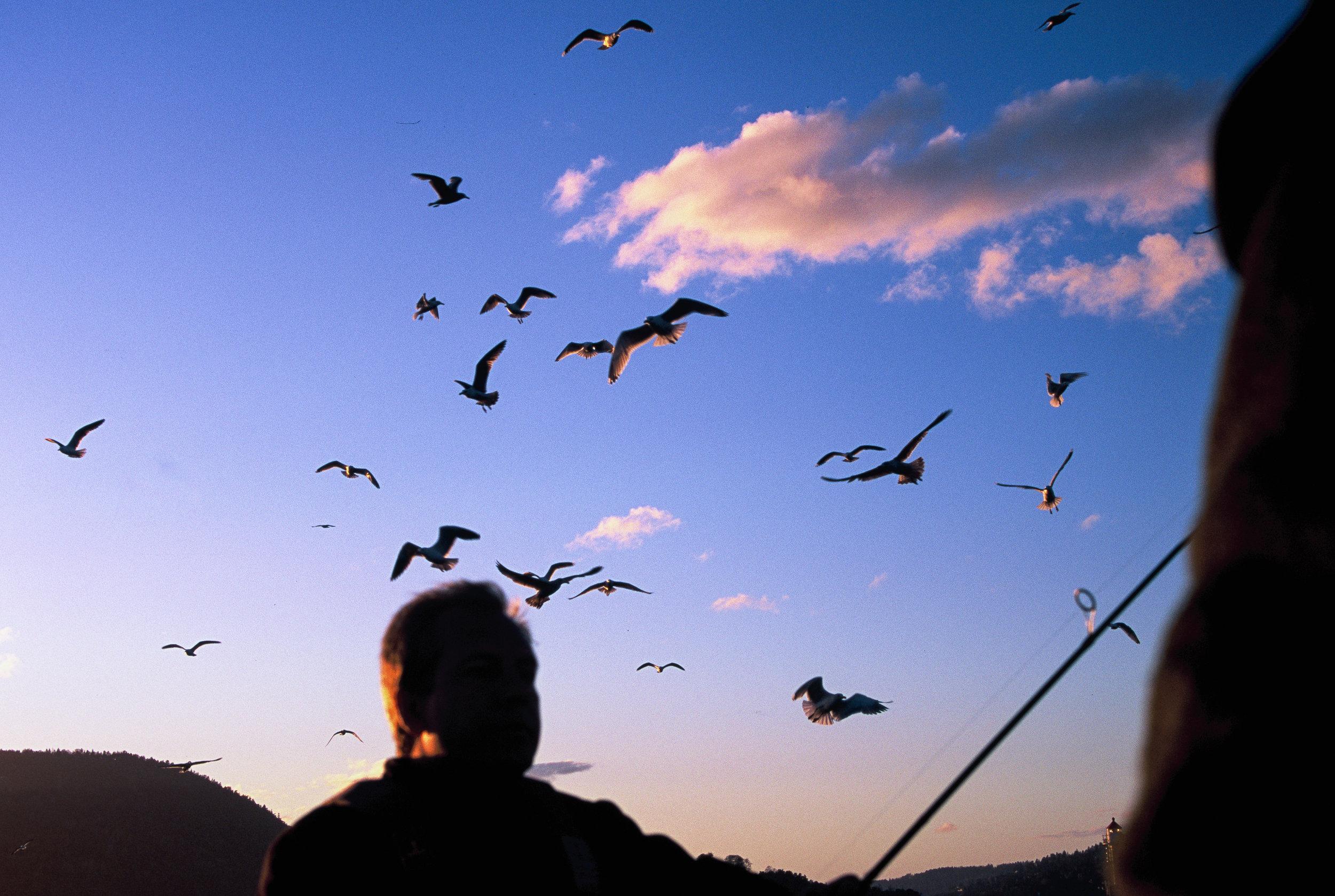 Seagulls always appear when fishing in Norway. Photo by Daniel Novelllo