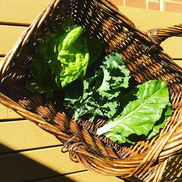 Harvest! 🌱🙏____________________________________________#greens #farmlife #farmtotable #health #wellness #healthandwellness #lifestylestolast