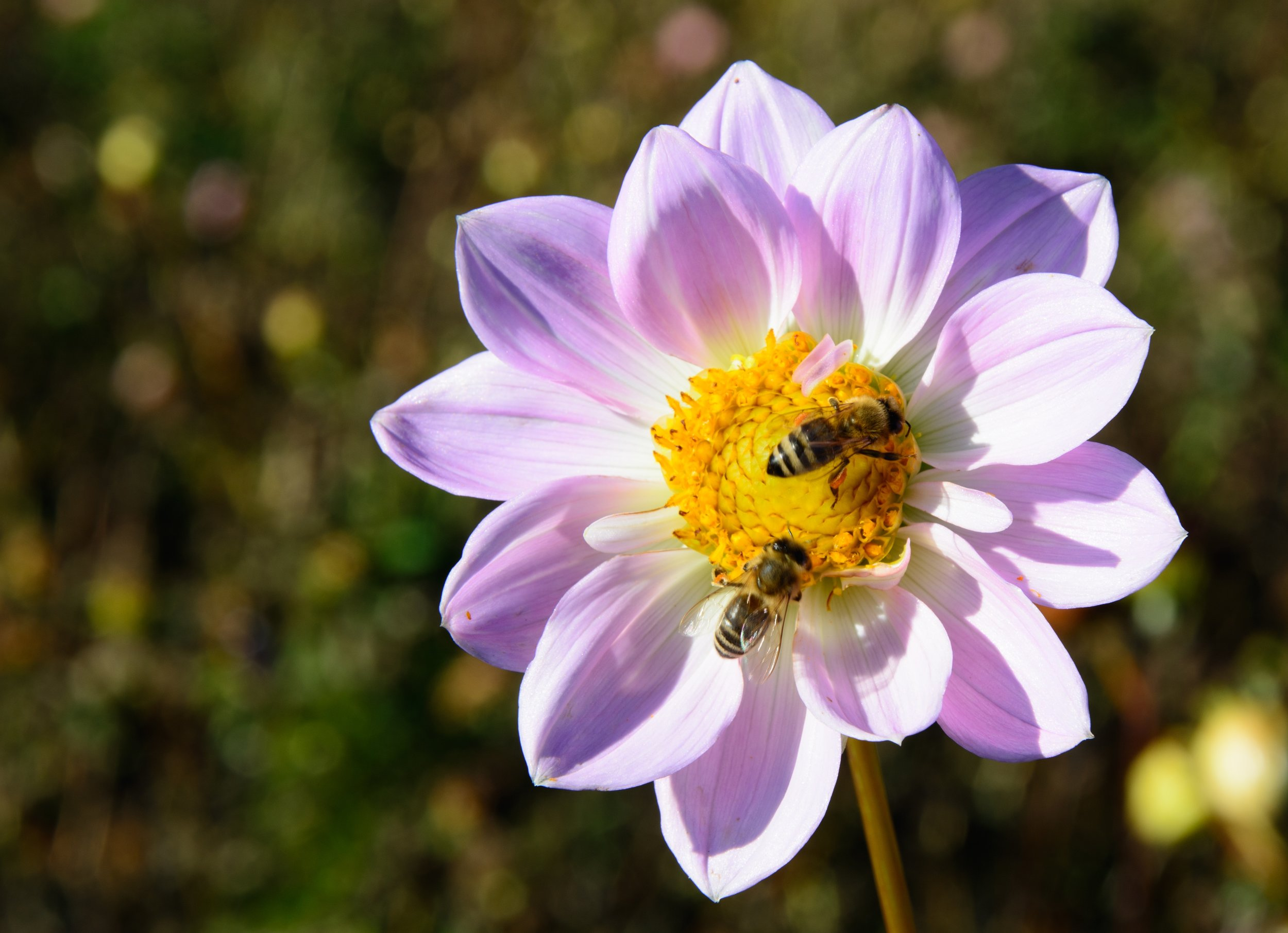 dahlia-flower-blossom-bloom-46534.jpeg