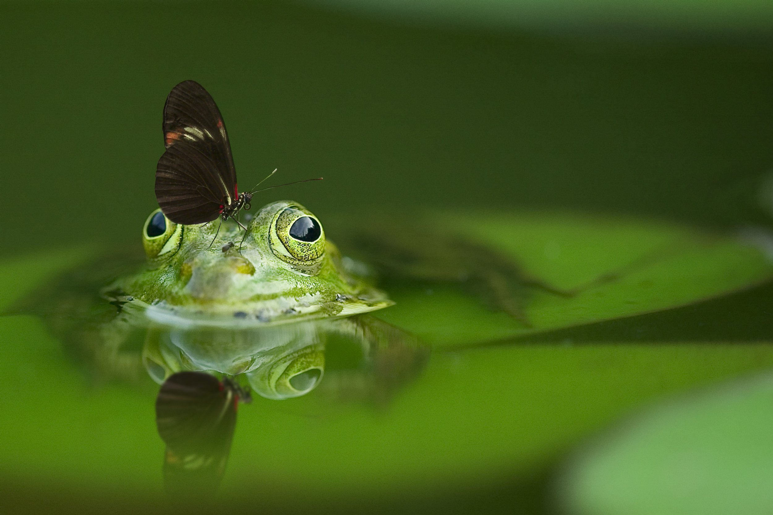 frog-butterfly-pond-mirroring-45863.jpeg
