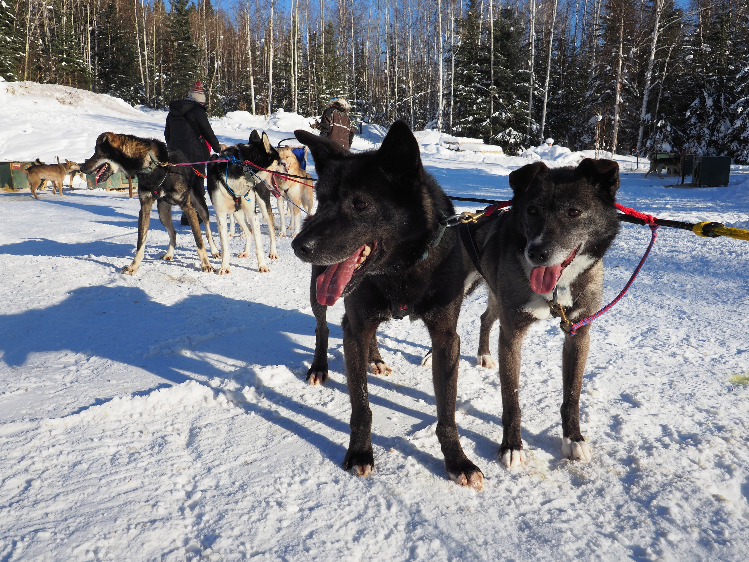 Dog mushing in Fairbanks, Alaska