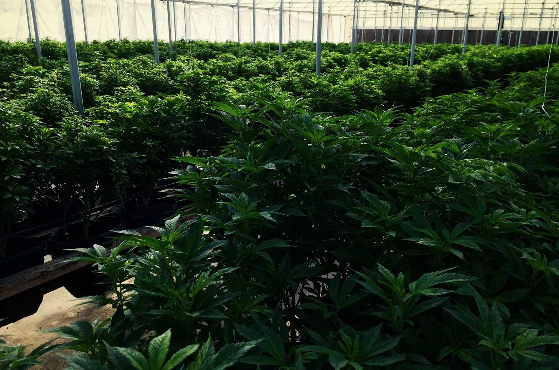 hemp-greenhouse-2.jpg
