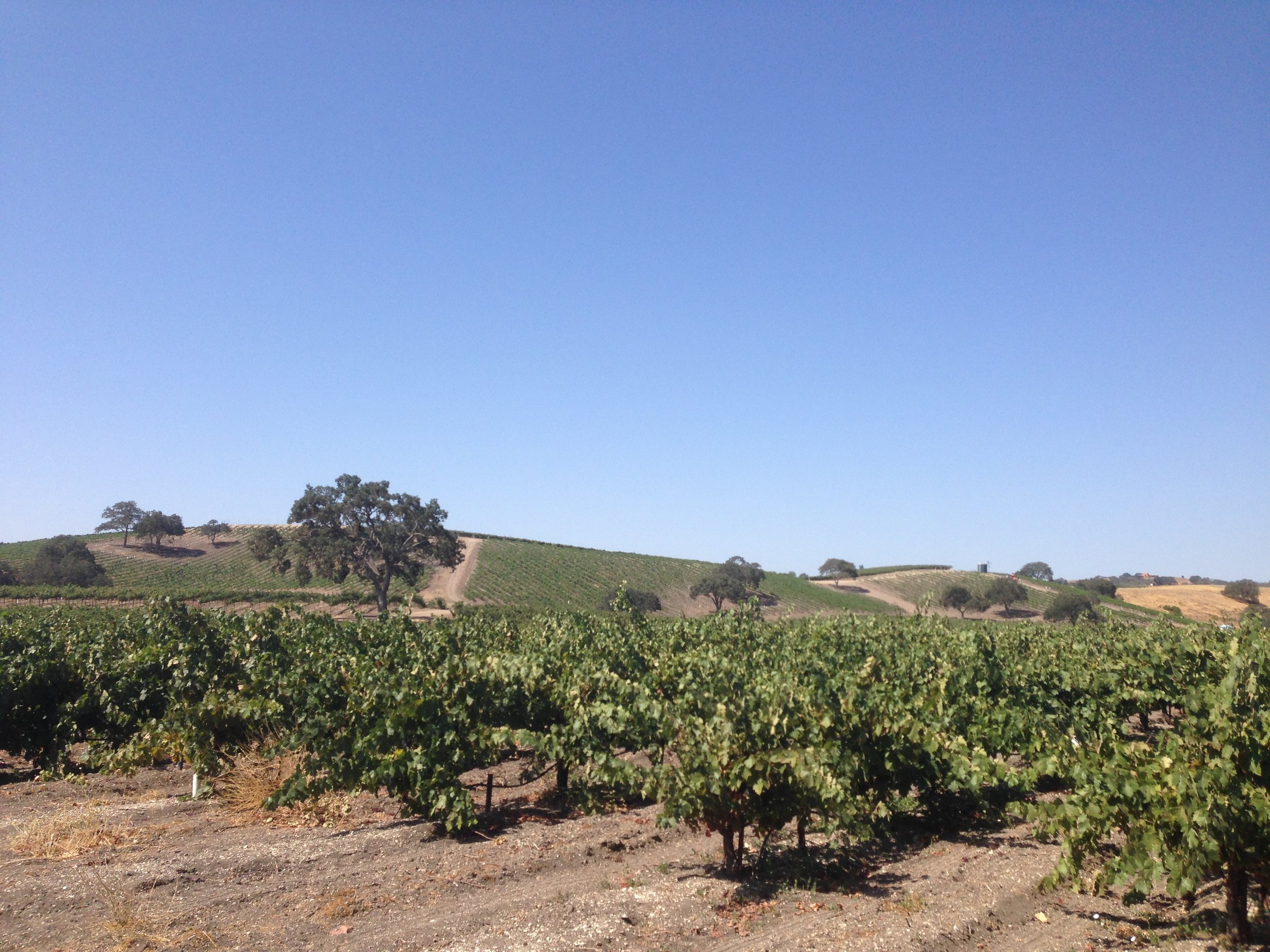bush-vines-paso-robles.jpg