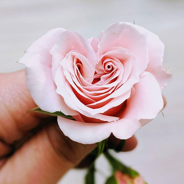 A heart to have and to hold.... by tomorrow's lovely bride. Isn't nature amazing?! Can't wait to hand E this beautiful gem. 😍 . . . . #floradashery #indianawedding #mishawaka #southbendwedding #ndwedding #notredame #eventrentals #flowers #eventflowers #pink #roses #hearts #weddingflowers #bridalbouquet #flowersofinstagram #flowerstarz #freshflowers #weddings #weddingflowers #isntitlovely #receptiondecor #receptionflowers #inspiredbypetals #instaflower #theweddingmag #floralstoryteller #floralstories #womenentrepreneurs #flowersandotherstories